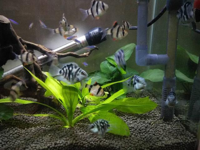 迷你鹦鹉这种小型观赏鱼,我们在饲养上有什么需要注意的问题?