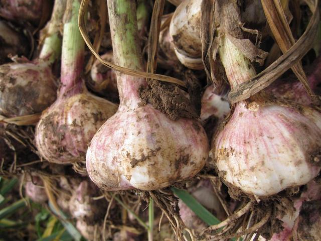 9月份你又不知道种什么菜了?南北方推荐种植蔬菜瞧一瞧