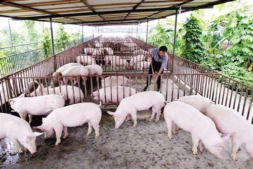 养猪致富!猪肉价格飞涨,养猪界首富成河南首个千亿富豪