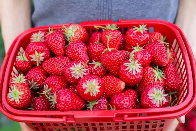 摘草莓!距离绵阳30分钟的草莓采摘园,用甜蜜勾引你的味蕾!