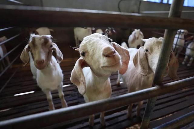 温州90后大学生放弃学业回乡养羊 如今年入160万