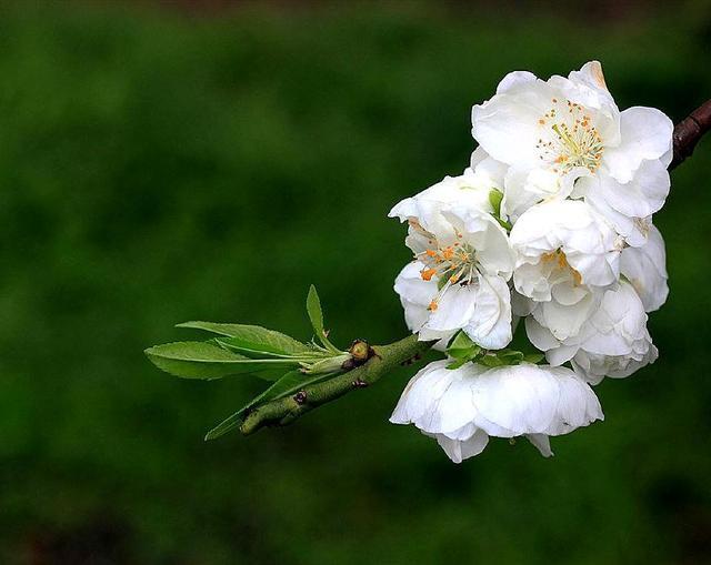 在家中养殖白兰花盆栽需要注意什么 做好这些轻松爆盆