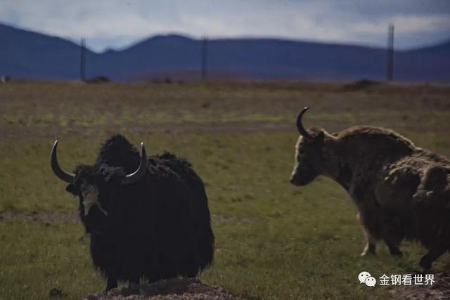 西藏行摄:七十一、野生牦牛