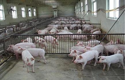 养猪高手都是这样对猪舍取暖的