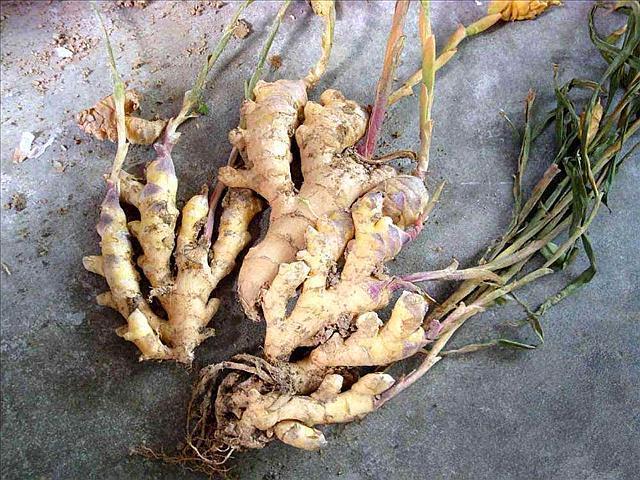 想要在家里养殖生姜盆栽,资深的家庭小能手来教你如何种植