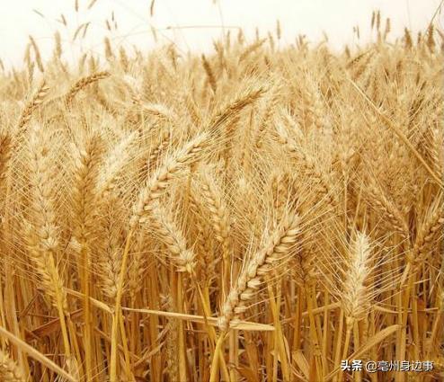 今年秋种,亳州优质专用小麦占近七成