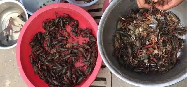 80元/斤还有人吃!浙江将推广100万亩稻渔共养,主打养殖小龙虾