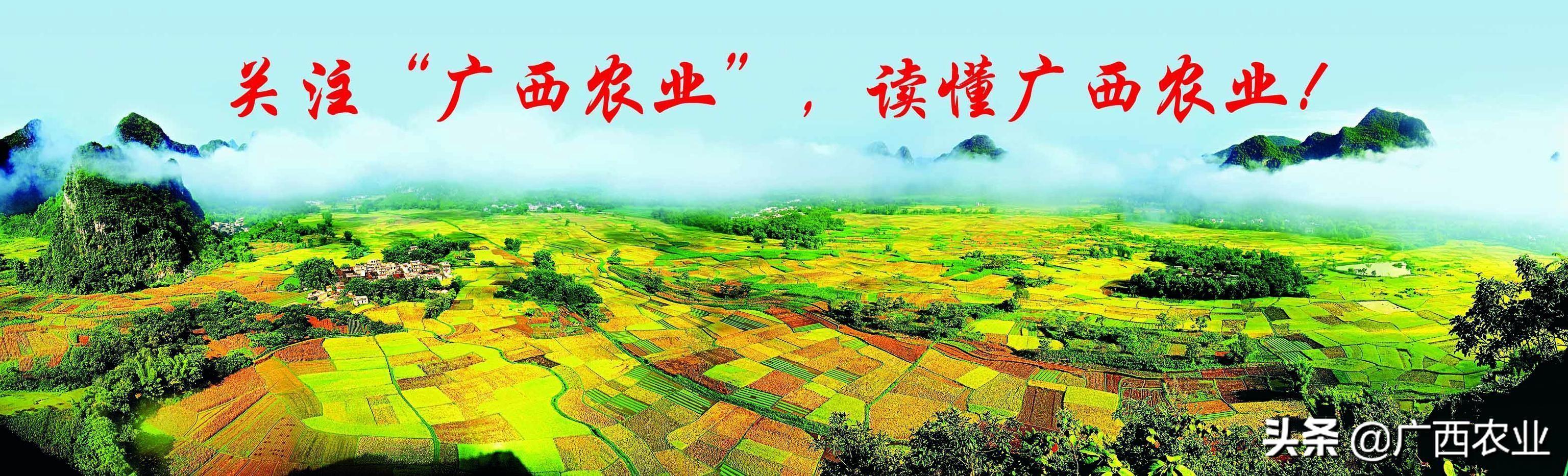 广西百色:右江区加快推进现代特色农业高质量发展,打造多个亿元产业