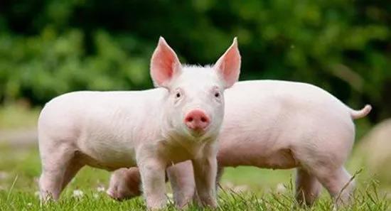 你真的做好了猪场的消毒工作吗?看完这些就明白了