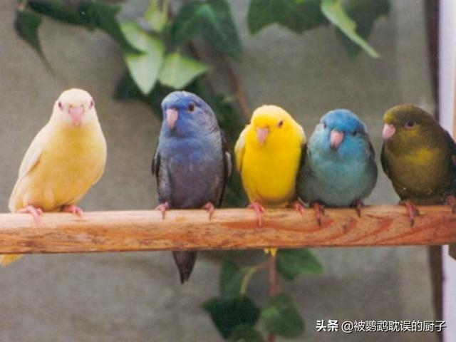 适合 孩子 饲养的4种小型鹦鹉,尤其第4种鹦鹉,,温驯不吵闹