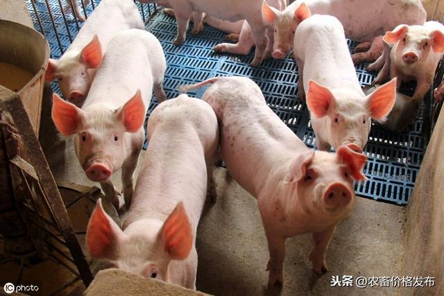 2019年10月14日全国各地区仔猪价格行情表
