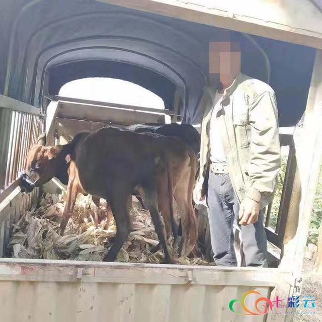 保山施甸:神操作,牛卖了觉得价格低了 又偷回来?