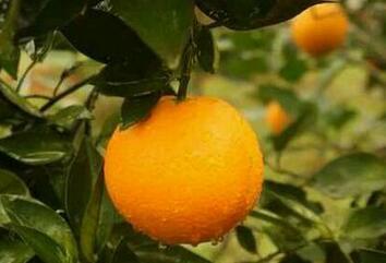南方阳台不美观果类盆栽植物辨别——那些像橘子树的盆栽