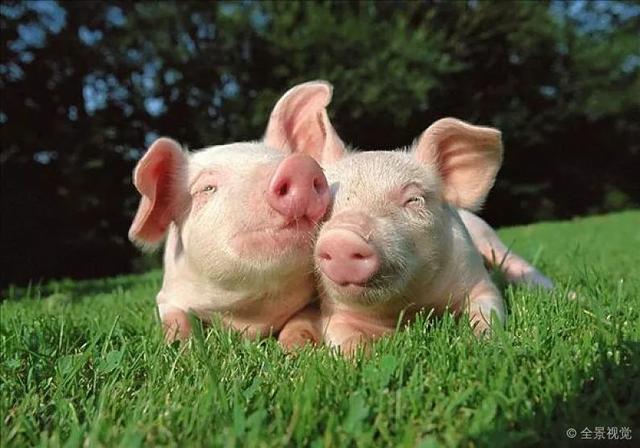 网易、京东、阿里...... AI养猪哪家强