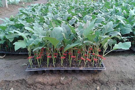种植技术:嫁接育苗的优点及方法