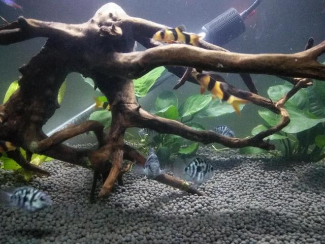 如何投喂迷你鹦鹉和三间鼠这些小型鱼,就这么喂能撑死它们吗