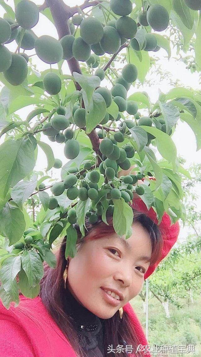 解密李子王——五月脆孕育过程!李子树花果管理问题