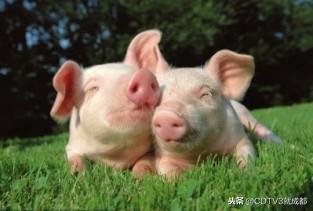关于非洲猪瘟,来看看是怎么回事!