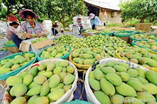 四年时间,百色芒果成为全国第一!巴中特色农业能否取经?