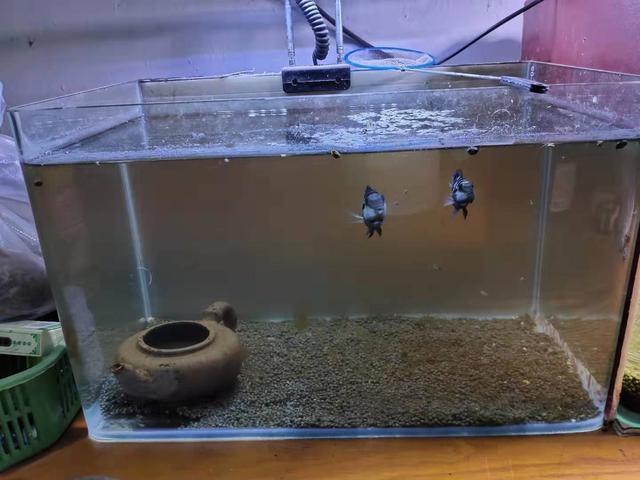 饲养哪些观赏鱼,鱼缸内需要铺设底沙,有什么作用应该如何选择?