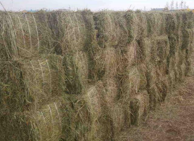 干牧草 牧草加工问题 牧草收割后需要一定的加工处理才能喂猪,目前还有很多养猪场采用原始的方法加工牧草,牧草收割后,一部分直接当青绿饲料喂猪,剩下的部分摊晒晾干。