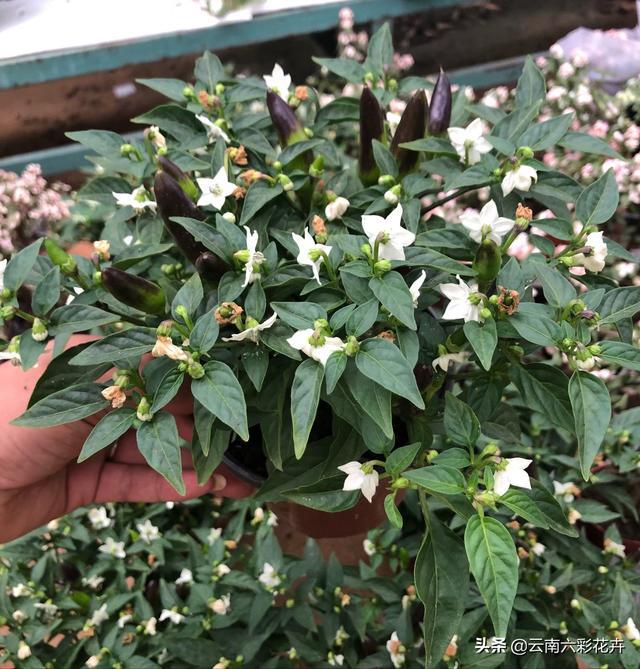 辣椒树四季食用辣椒树盆栽多年生特大家中种彩色辣椒盆栽两盆28
