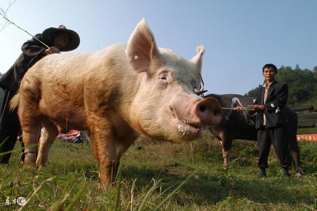 8月猪病预警!出现-抽蓄倒地,四肢滑动,叫声尖细,不能起立你就应该警惕了!