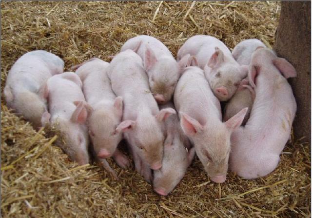 养猪致富奔小康