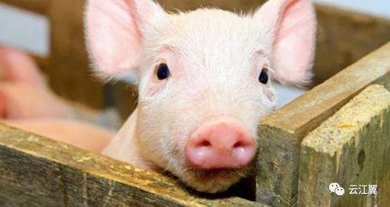 乐清出现非洲猪瘟!瑞安的猪肉还能吃吗?相关部门回应……