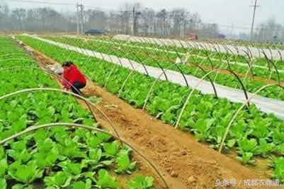 卷心菜种植技术——种小菜也有大学问