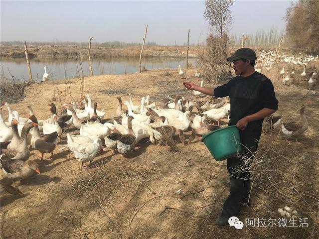微创业阿拉尔农场:大雁养殖成就致富梦想