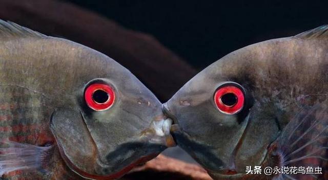 印地安红腹菠萝鱼