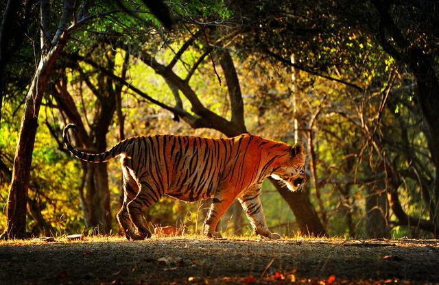 孟加拉虎现身西藏墨脱,曾捕食3头牦牛,能咬碎印度野牛的脖颈
