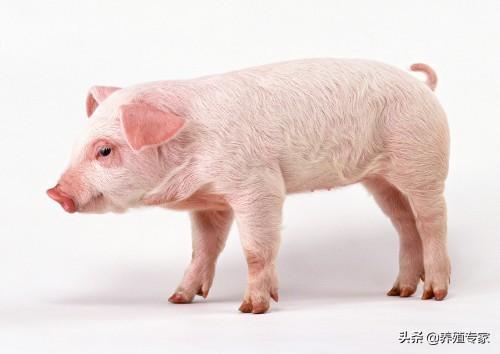 高价白条走货缓慢,猪价高位震荡!