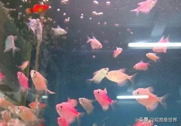 十种适合于水草缸观赏的小型热带鱼/观赏鱼世界(草缸)