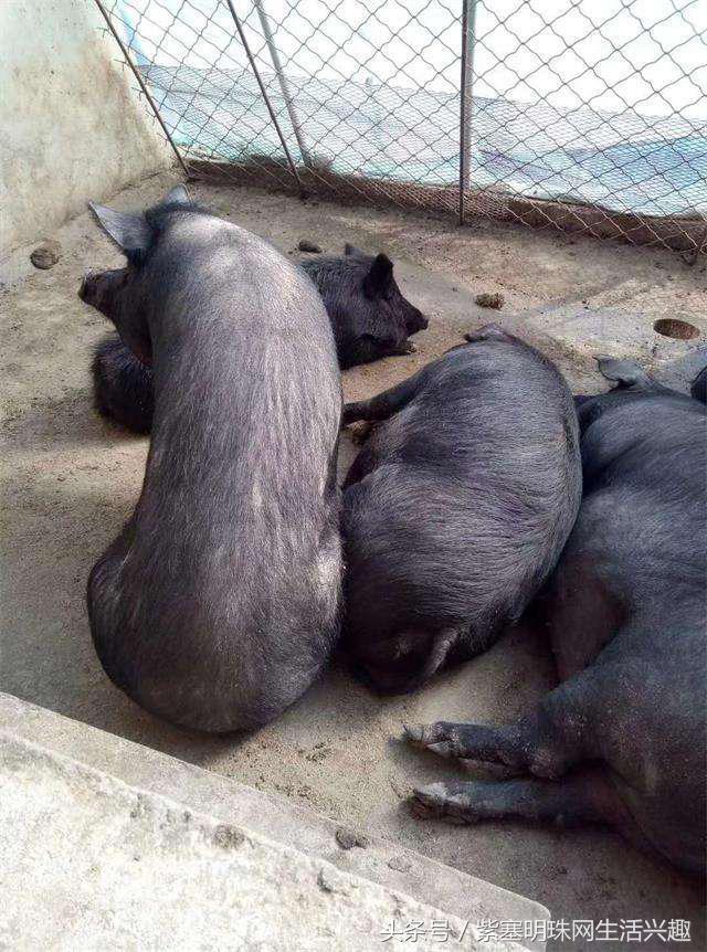 承德生态散养黑猪,野猪,品绿色健康猪肉就来金谷养殖公司