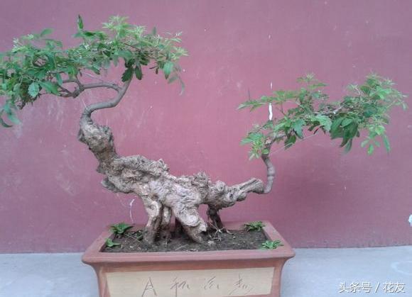荆疙瘩盆景DIY制作,极具观赏价值