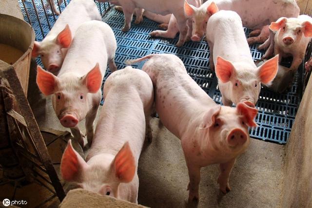 猪价喜迎普涨行情,仔猪1600元能补栏吗?专家这段话说到心坎里了