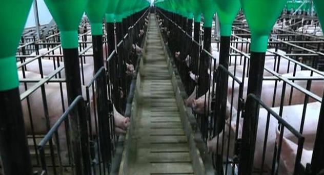 """内蒙古家育种猪集团被授予""""国家生猪核心育种场"""""""