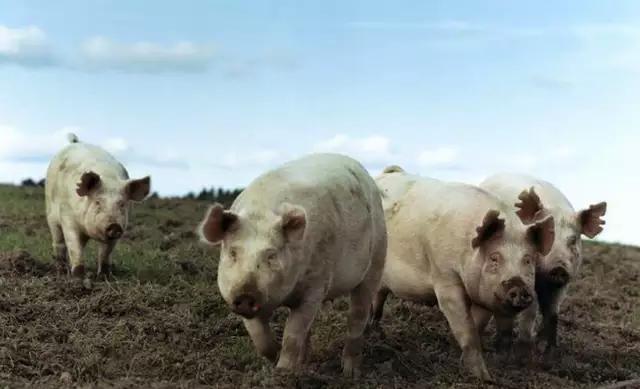 南方猪价破8成风,北方猪价跌势难改,未来的猪市该如何走?