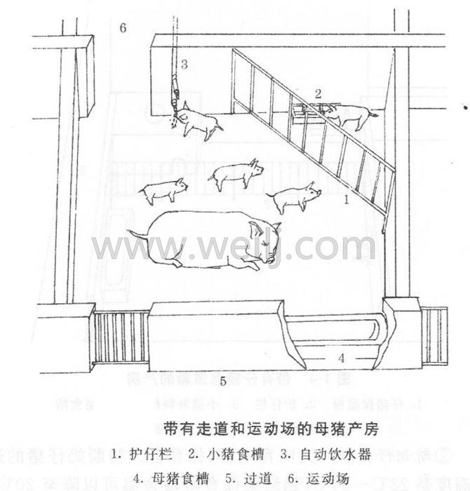 带有走道和运动场的母猪产房 (1)