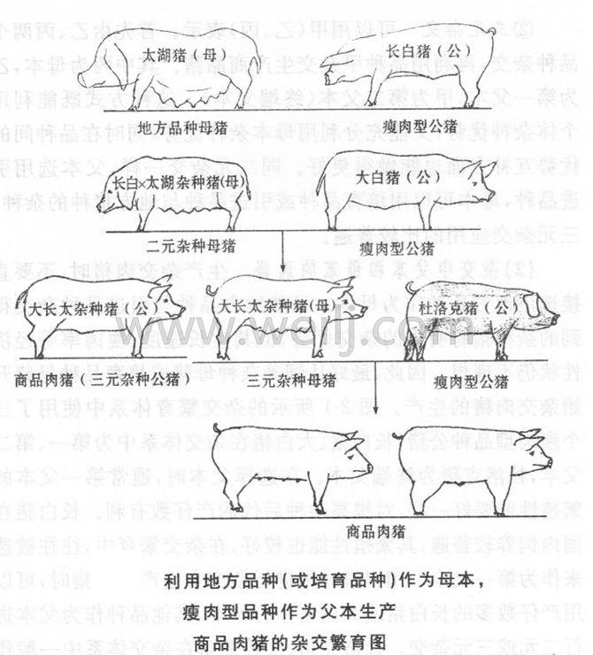 肉猪杂交繁育图 (1)