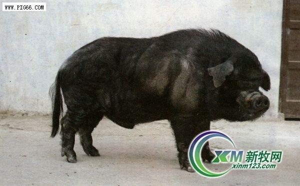 成华猪——中国优秀生猪品种(图)