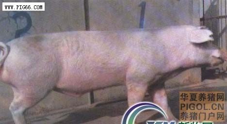 湖北白猪—优秀生猪品种 (99)