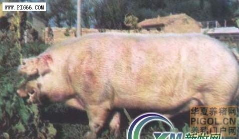 内蒙古白猪—优秀生猪品种 (99)