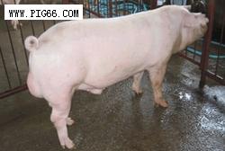 瑞系大白猪 (99)