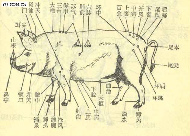 豬的穴位圖 (1)