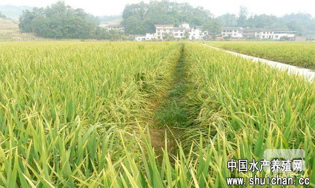 稻田小河风景图片