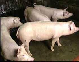 冀合白猪 (99)