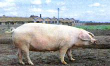 三江白猪 (99)